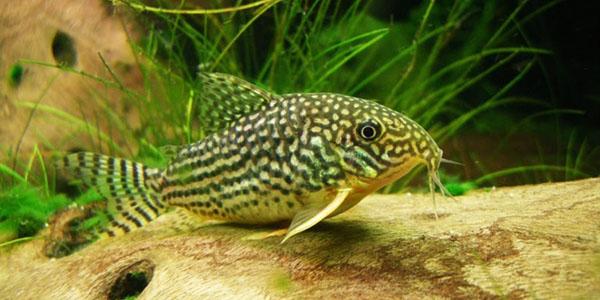 рыбка коридорас