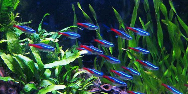 неоны - для пресноводного аквариума