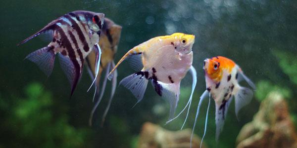 рыбки скалярии