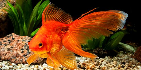 вуалехвост или золотая рыбка